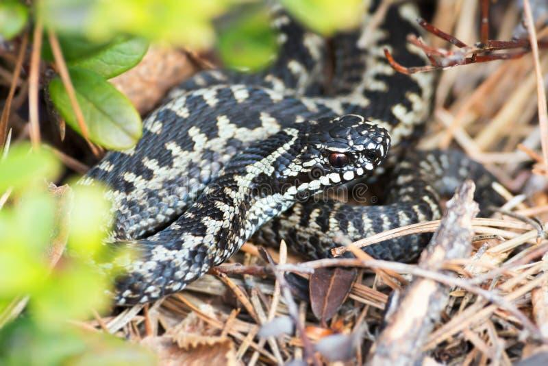 欧洲加法器或蝰蛇属berus 免版税图库摄影
