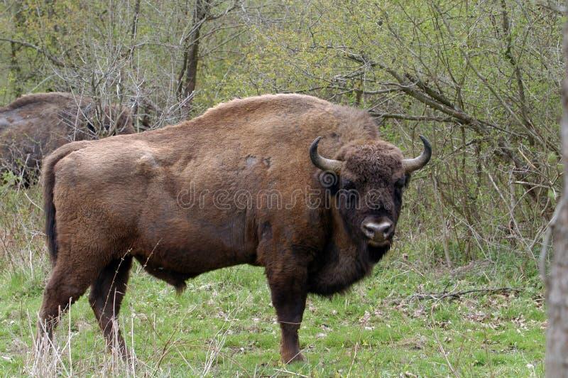 欧洲北美野牛 图库摄影