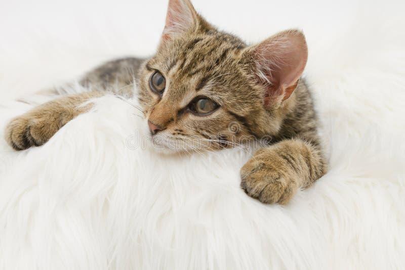 欧洲家猫(3个月) 库存图片
