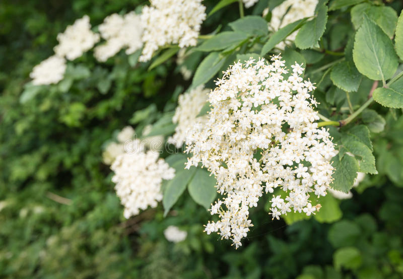 欧洲黑接骨木浆果的白花 免版税库存照片