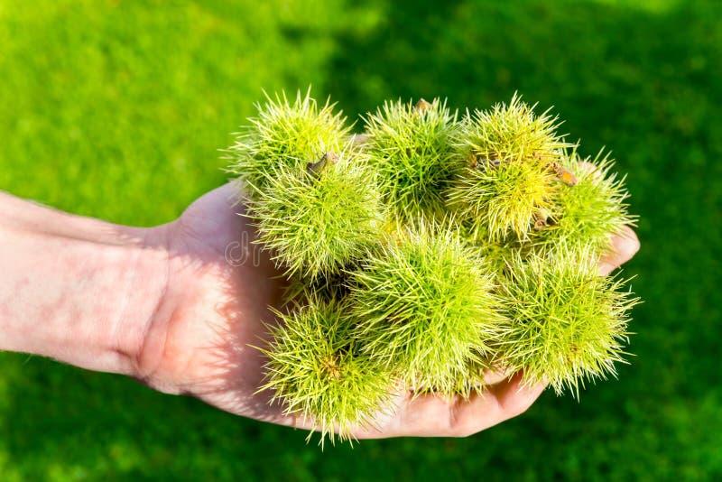 欧洲栗木树绿色果壳在手边 库存图片