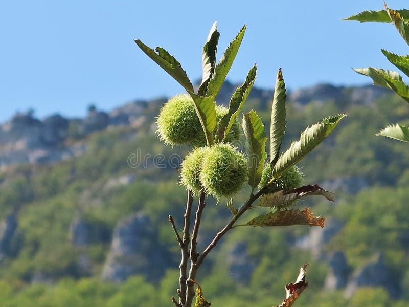 欧洲栗木,漂白亚麻纤维的栗属 库存照片