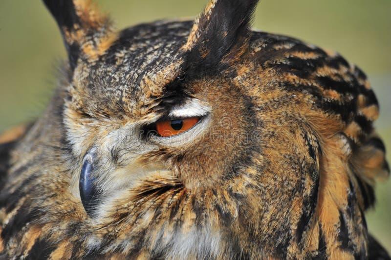 Download 欧洲欧洲产之大雕 库存照片. 图片 包括有 老鹰, 明智, 远见, 全身羽毛, 野生生物, 横痃, 智慧 - 30338092
