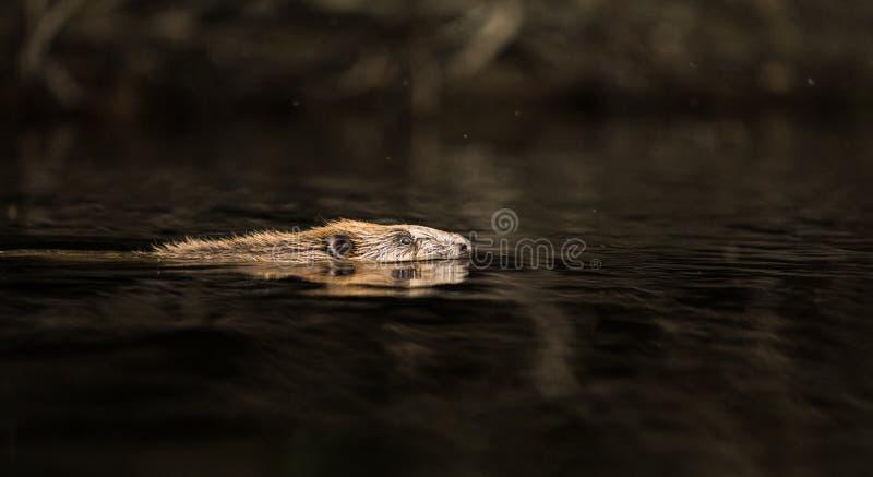 欧洲海狸,铸工纤维,游泳在黑水中 免版税图库摄影