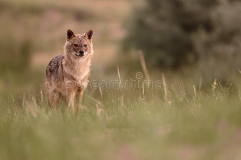 欧洲狐狼,犬属葡萄球菌moreoticus 免版税库存照片