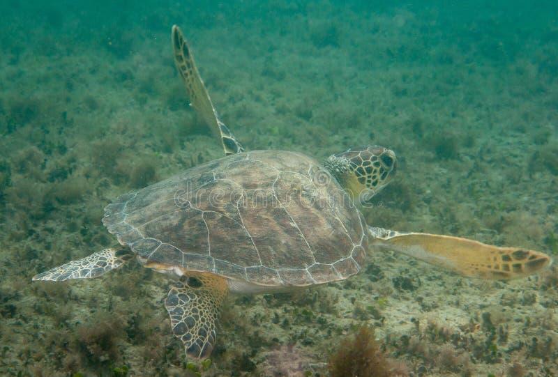 欧洲甜樱桃在一块礁石的海龟在南佛罗里达 免版税库存照片
