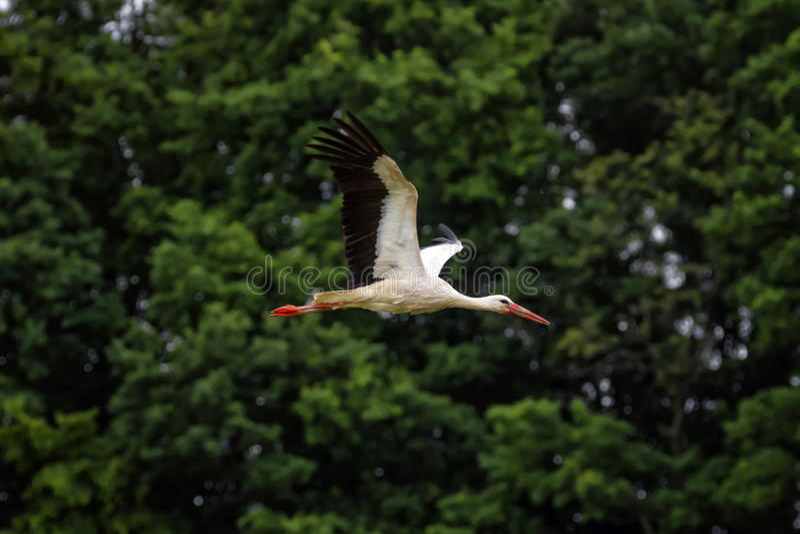 欧洲白色鹳, ciconia,飞行 免版税库存图片