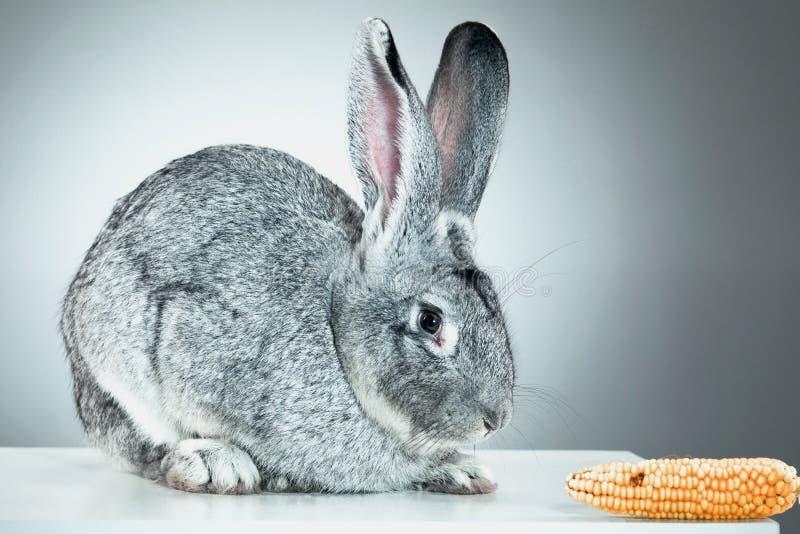 欧洲的兔子或共同性兔子, 2个月,穴兔串孔 库存图片