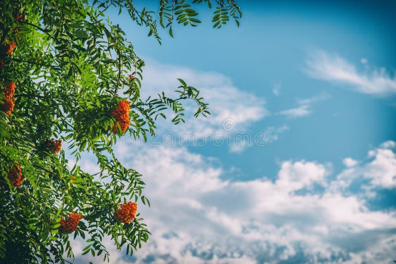 欧洲花楸用在蓝天背景的莓果 免版税图库摄影
