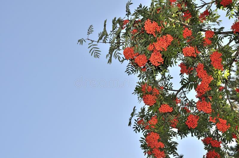 欧洲花楸的分支用红色成熟莓果 免版税库存照片