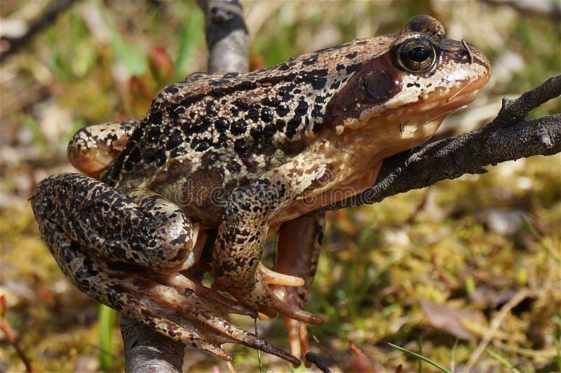 欧洲草蛙(蛙属temporaria)特写镜头 免版税图库摄影