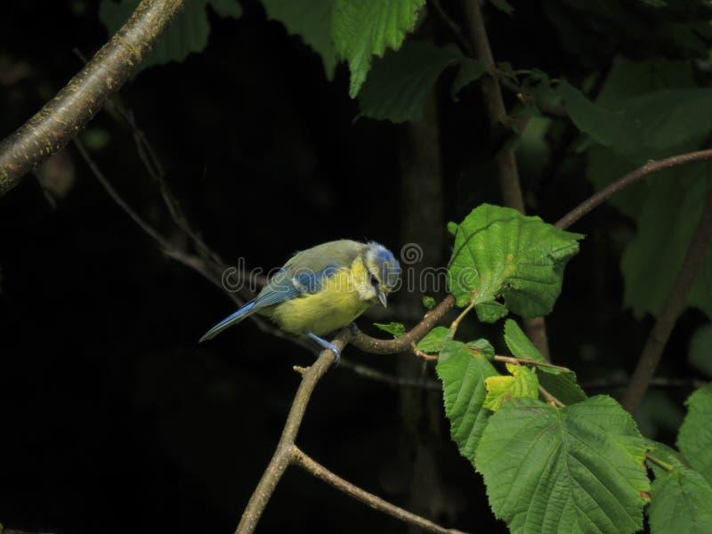 欧洲蓝冠山雀坐分支 库存图片