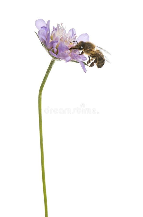 欧洲蜂蜜蜂在开花植物,搜寻, Apis mellifera登陆了 库存图片