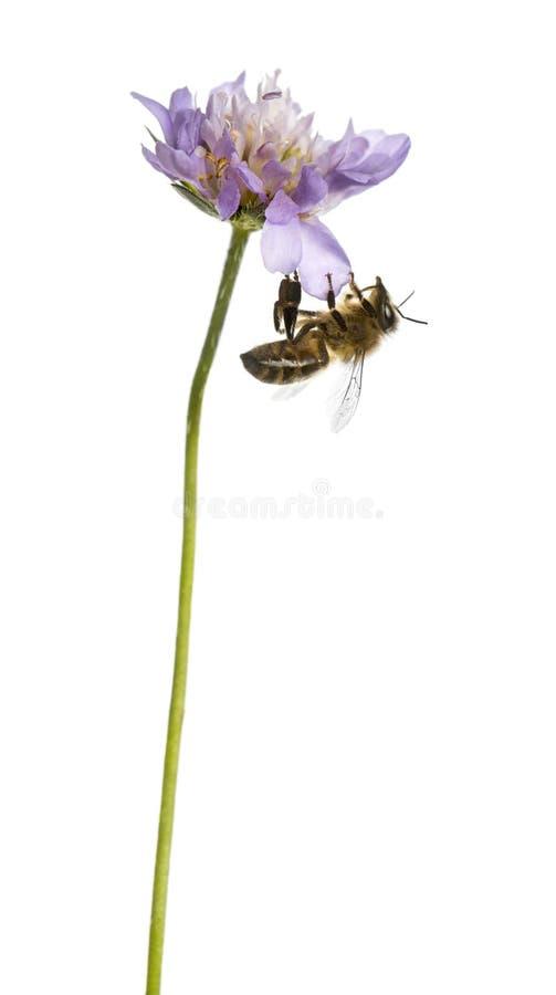 欧洲蜂蜜蜂在开花植物登陆了,搜寻 图库摄影