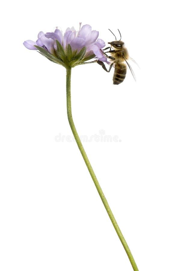 欧洲蜂蜜蜂的侧视图在开花植物登陆了 免版税库存图片