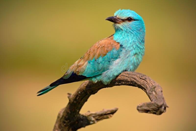 欧洲路辗,美好的颜色浅兰的鸟坐分支与,画象在草甸,被弄脏的黄色背景, a 图库摄影