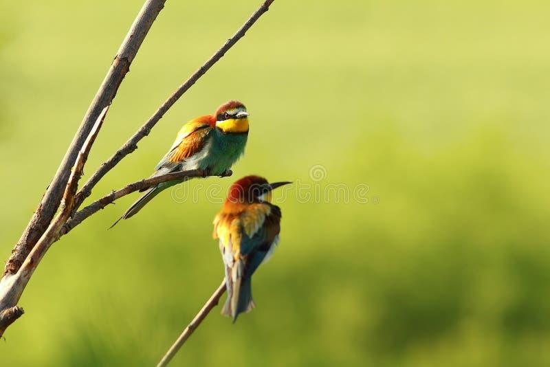 欧洲食蜂鸟夫妇  库存照片