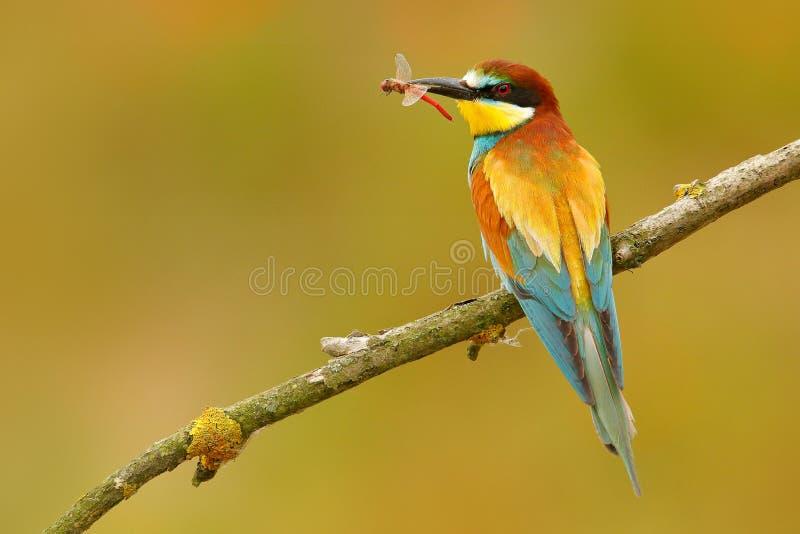 欧洲食蜂鸟,食蜂鸟属apiaster,美丽的鸟坐与蜻蜓的分支在票据 行动在nat的鸟场面 库存图片
