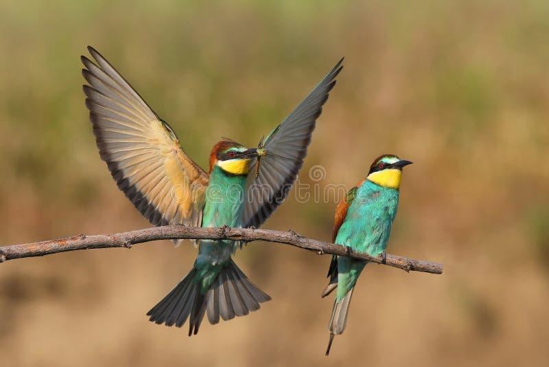 欧洲食蜂鸟(食蜂鸟属Apiaster)在自然生态环境 免版税库存照片