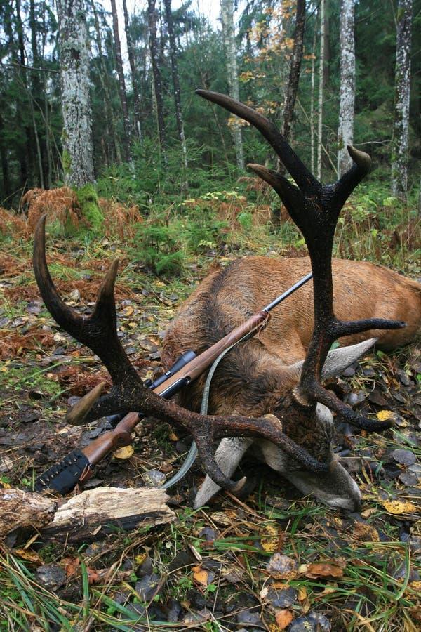 欧洲马鹿的战利品与垫铁的在寻找与步枪以后 免版税库存图片