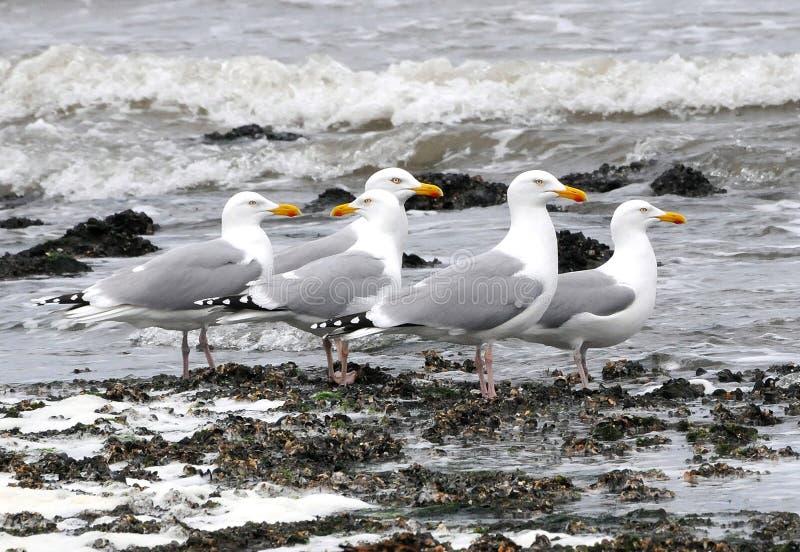 欧洲,在海滩前面的海鸥 免版税库存图片