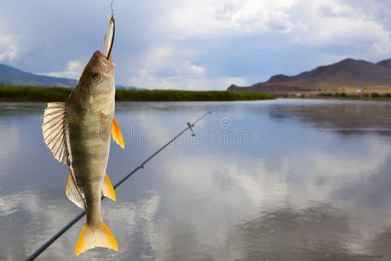 Download 欧洲fluviatilis鲈鱼属栖息处 库存图片. 图片 包括有 背包, 表单, 动物学, 捕鱼, 欧洲 - 59112909