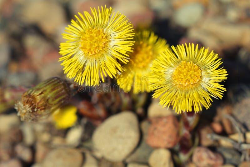 款冬在开花的Tussilago farfara 免版税库存照片