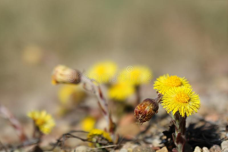 款冬在开花的Tussilago farfara 库存图片
