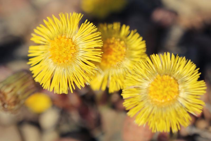 款冬在开花的Tussilago farfara 图库摄影