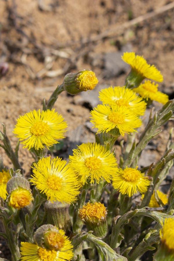 款冬foalfoot垂直的照片特写镜头,美丽的大花款冬黄色明亮的晴朗,医疗草本 图库摄影