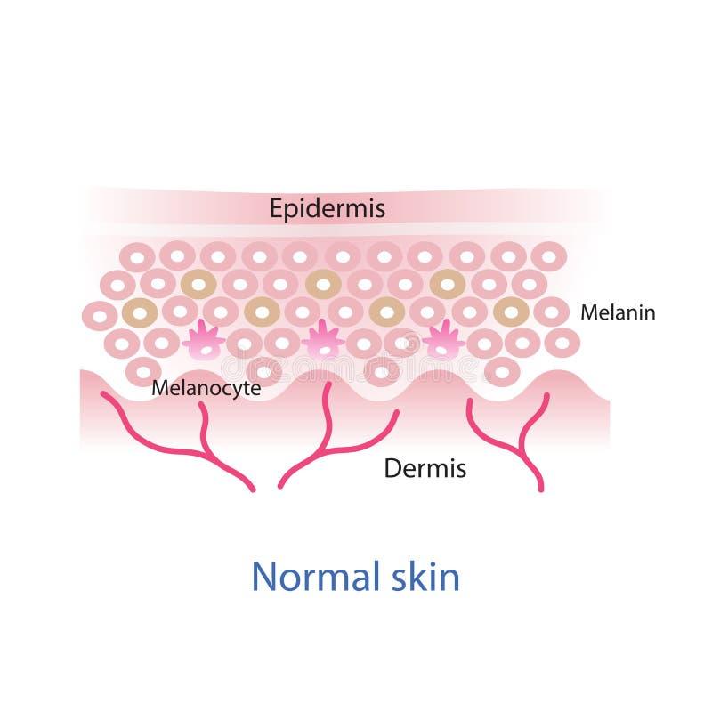 正常皮肤层数 向量例证