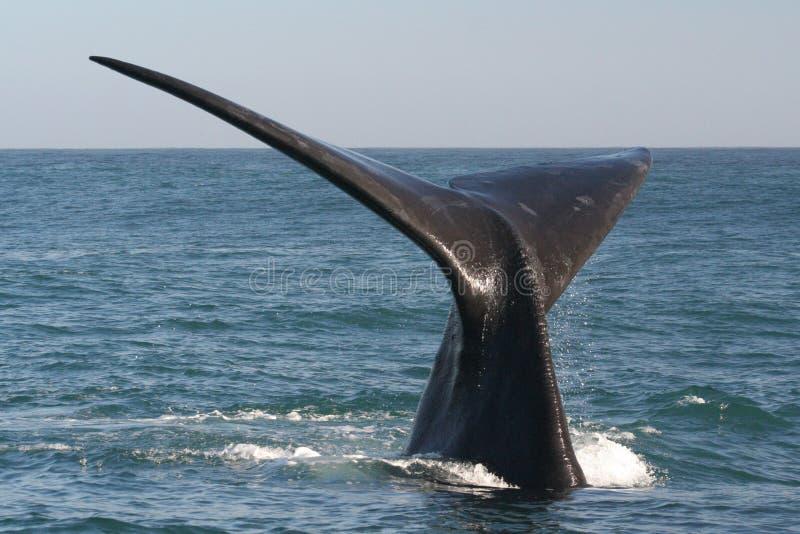 正确的南部的尾标鲸鱼 图库摄影