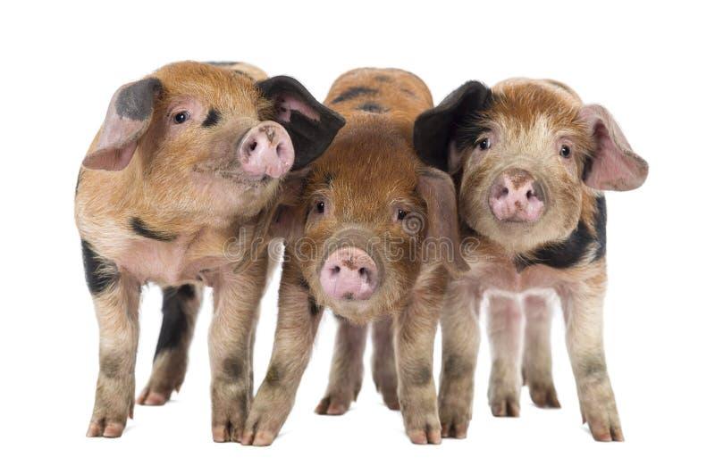 正面图三牛津桑迪和黑小猪,9个星期年纪 库存照片
