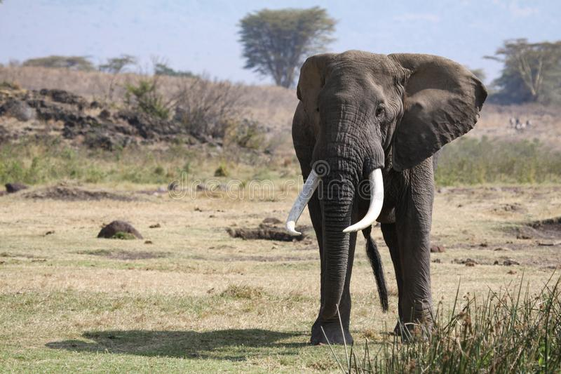 正面大象 库存照片