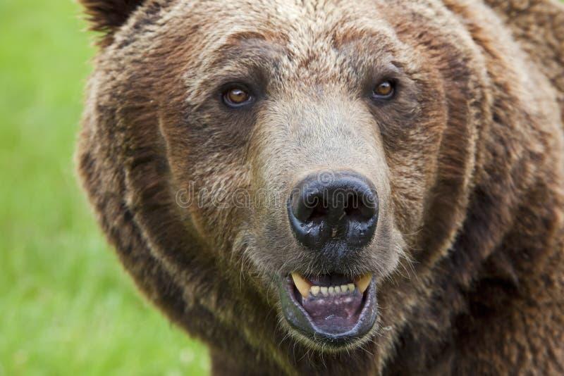 正面观点的北美灰熊棕熊 库存图片
