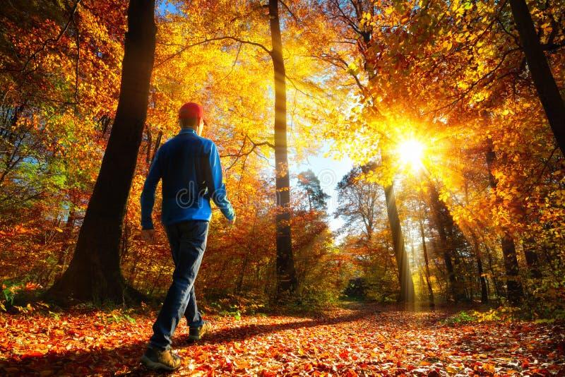步行在光彩的阳光下在秋天森林里 库存照片