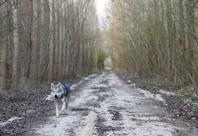 步行在早期的春天森林里 免版税库存照片