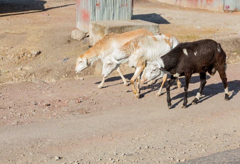 步行沿着向下亚的斯亚贝巴, Ethiopi街道的分泌乳汁山羊  免版税库存照片