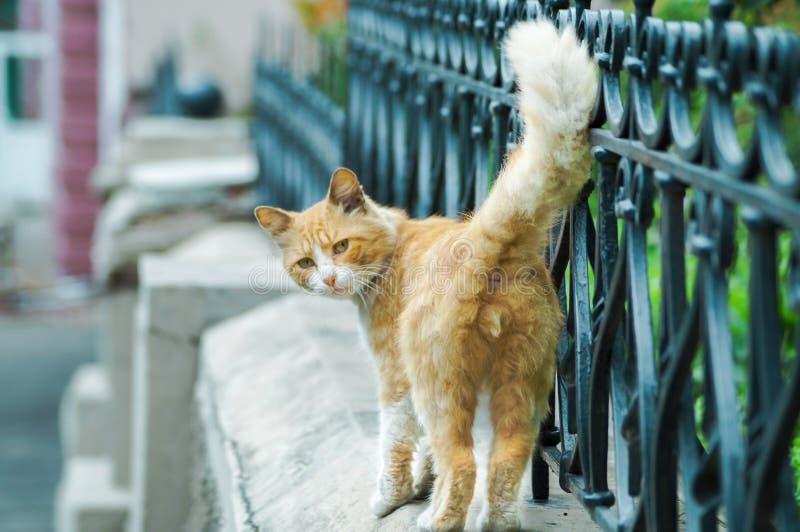 步行沿着向下在照相机的街道神色的野猫 免版税库存照片