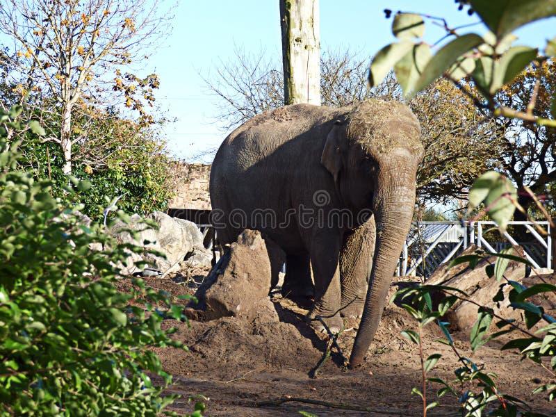 步行沿着向下小山的大象 免版税库存图片