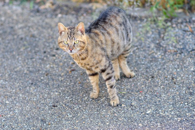 步行沿着向下街道的猫 库存图片