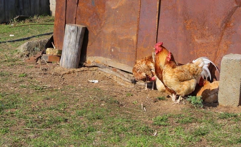 步行沿着向下街道的鸡和雄鸡 图库摄影