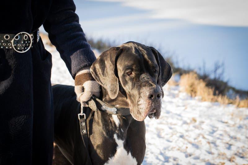 步行的丹麦种大狗在冬日 免版税库存照片