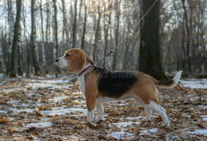 步行的小猎犬狗在森林 免版税库存照片