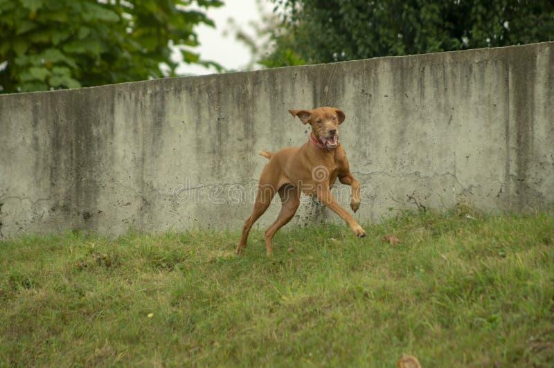 步行的快乐的猎犬 库存图片