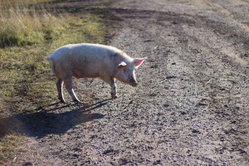 步行的猪 免版税库存照片