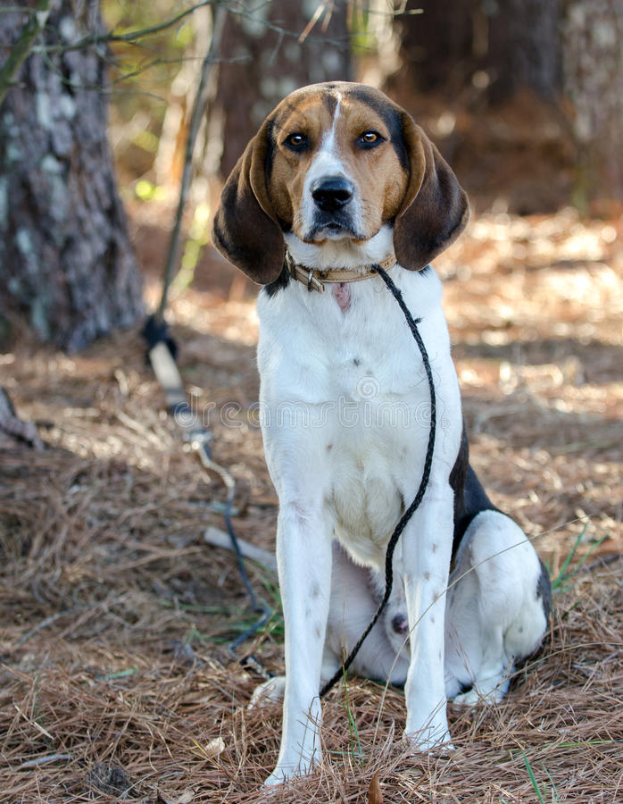 步行者猎浣熊的猎犬狗. 小狗, 照片.
