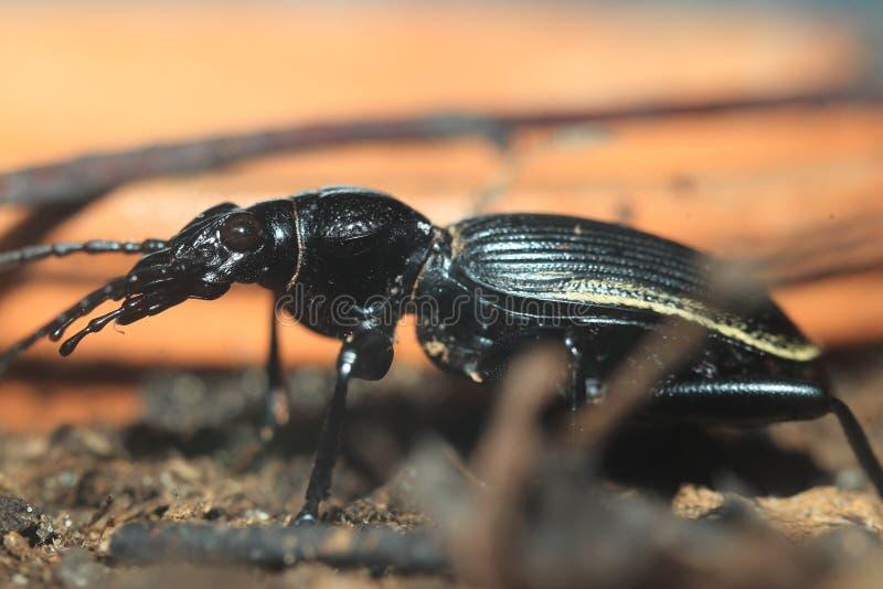 步行虫- Anthia cinctipennis 免版税库存照片