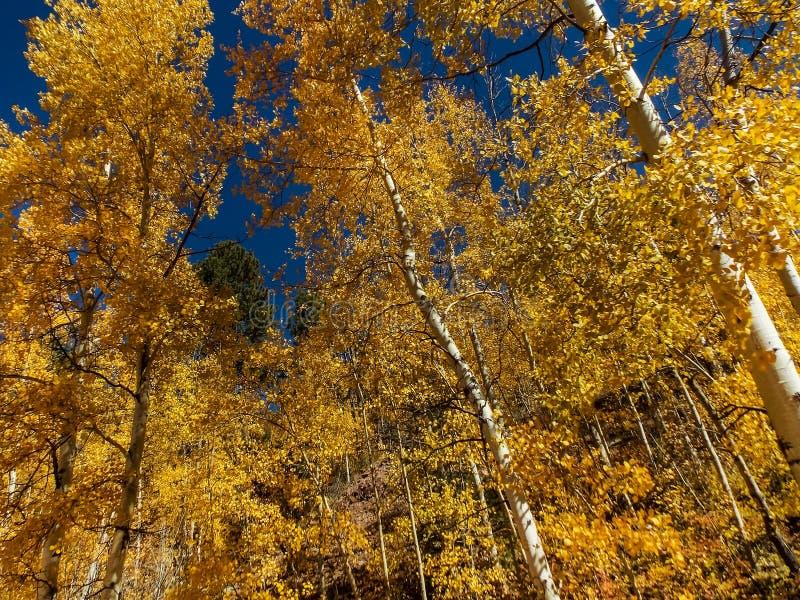 步行通过在秋天的白杨木 库存图片