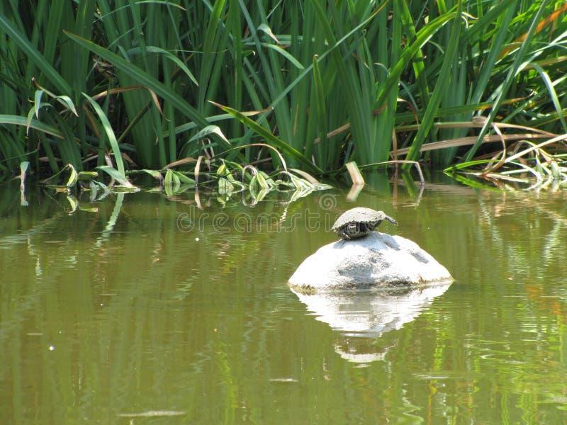 歪斜的乌龟 库存照片